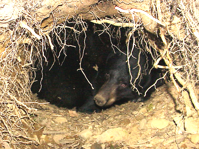 How Do Chipmunk and Black Bear Hibernation Differ? - North ...