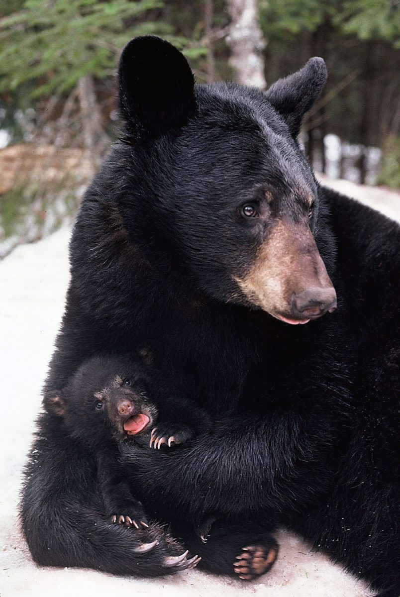 The Black Bears Voice North American Bear Centernorth American Bear Center