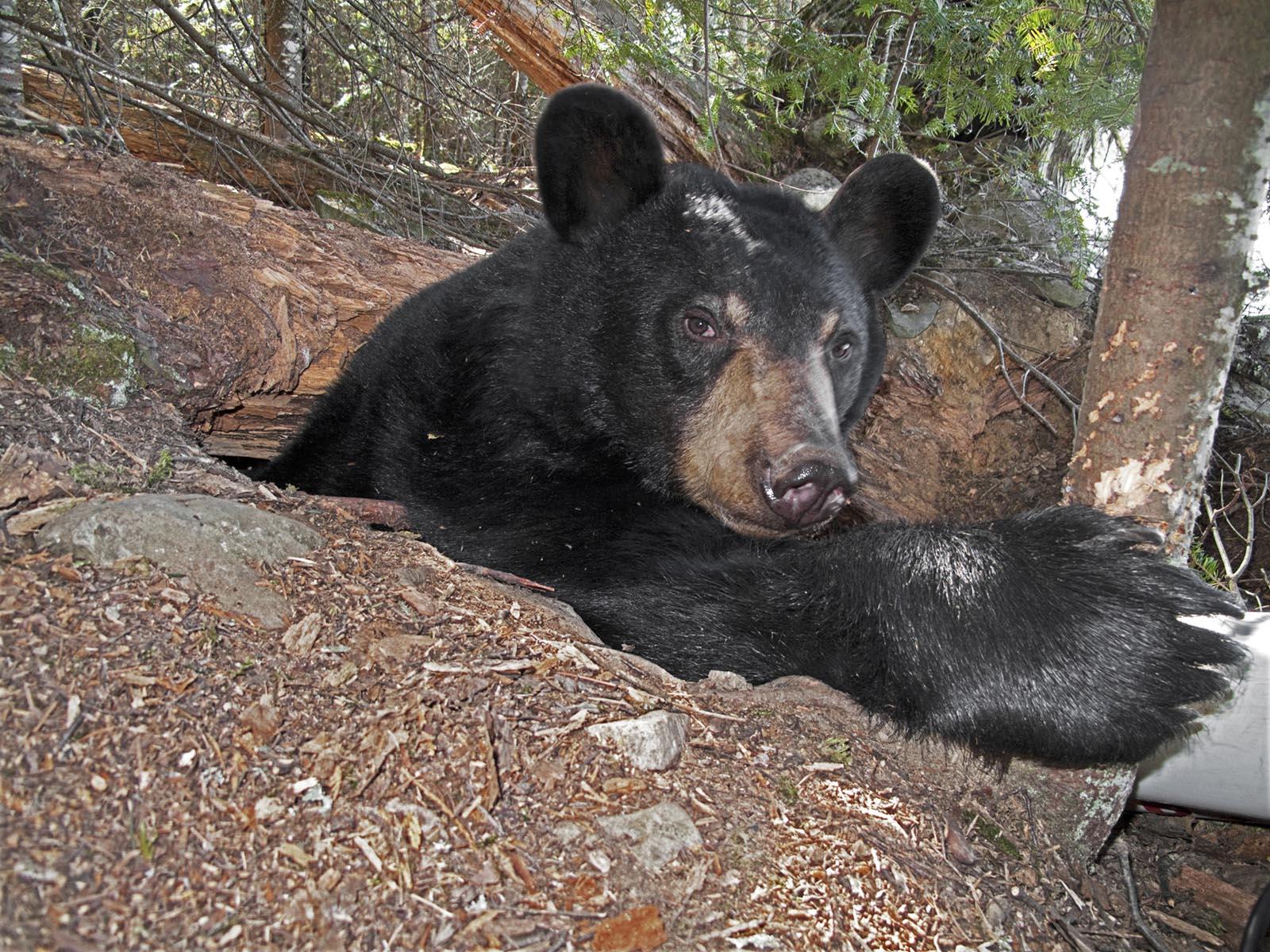 Winter Dens - North American Bear CenterNorth American Bear Center