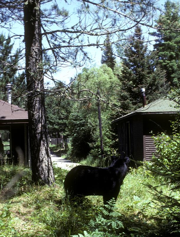 backyard_bear.jpg