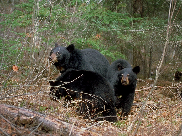 bear_blackheart_dot_donna.jpg