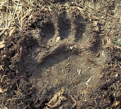 bear_front_l_track.jpg