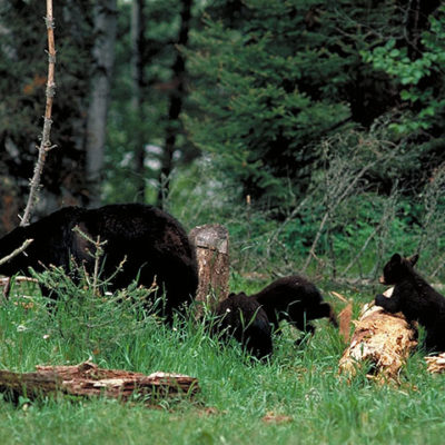 bear_mother_and_cubs_running_away.jpg