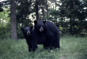 bears_mating_kawishiwi_yard_1986.jpg
