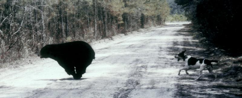 hound_chasing-bear.jpg