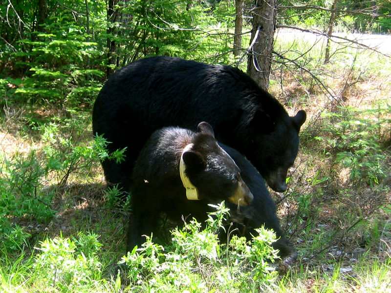 Courtship and Mating - North American Bear CenterNorth