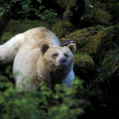 kermode_spirit_bear_closeup.jpg