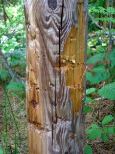 Black Bear Marked Cedar Post