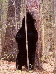 Black Bear Back-rubbing a Red Pine