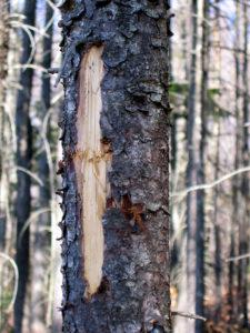 Black Bear Bites on Spruce