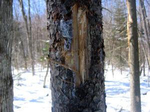 Black Bear Bitten Spruce