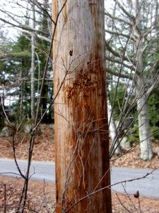 Black Bear Bites on Utility Pole