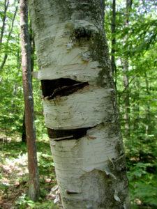 Black Bear Bites on White Birch