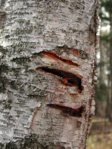 Black Bear Bites on Birch