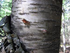 Black Bear Bite on Birch