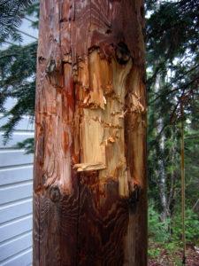 Black Bear Marked Utility Pole