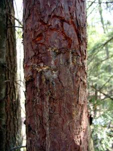 Black Bear Bites on Red Pine