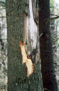 Black Bear Bitten Red Maple