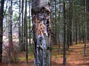 Black Bear Bite on White Pine