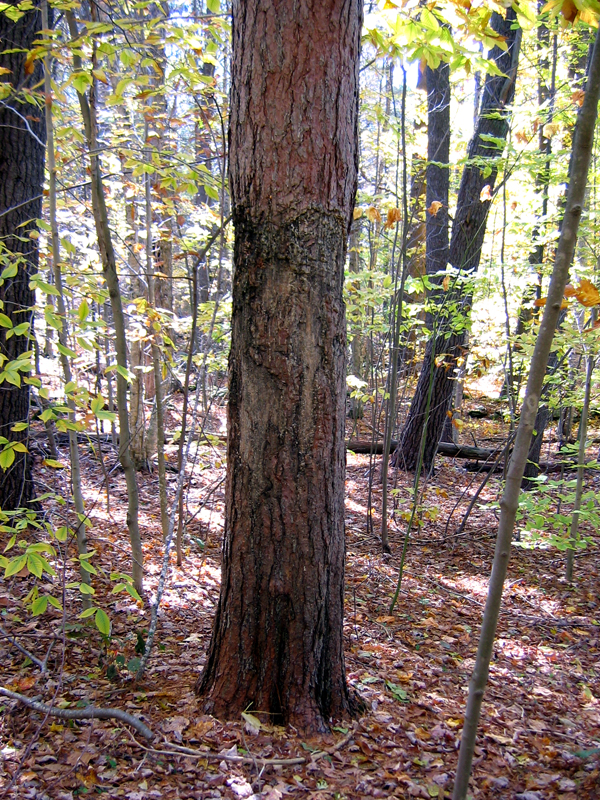 Red Pine Marking Tree