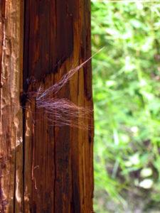 Black Bear Hair on Utility Pole
