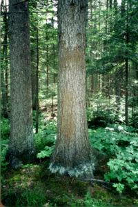 Black Bear Rub Tree