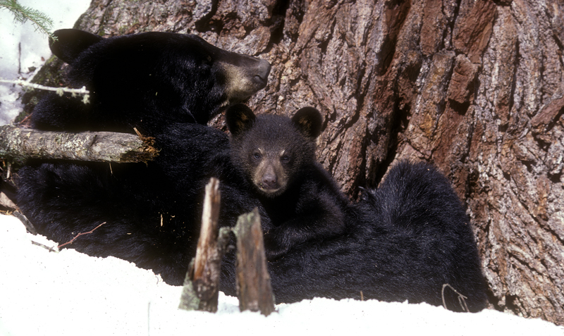mom_and_cub_at_white_pine.jpg