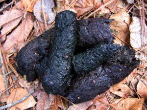 Black Bear Scat - Catkins