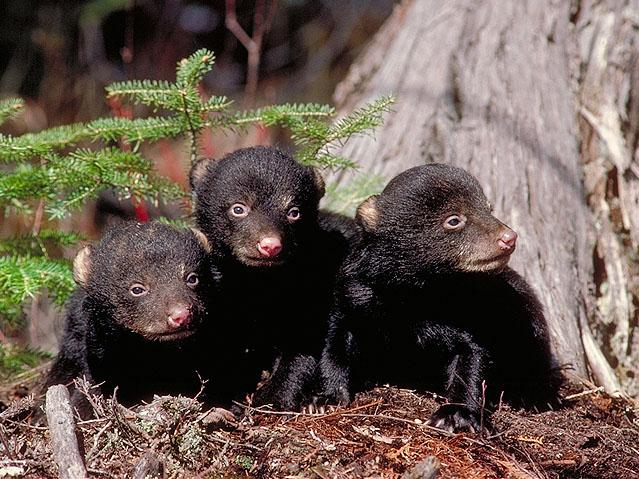 three_tiny_cubs.jpg