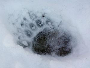 Black Bear Track in Snow