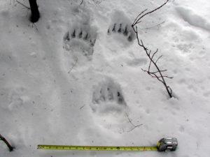 Black Bear Tracks in Snow