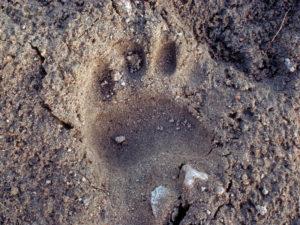 Black Bear Track in Sand