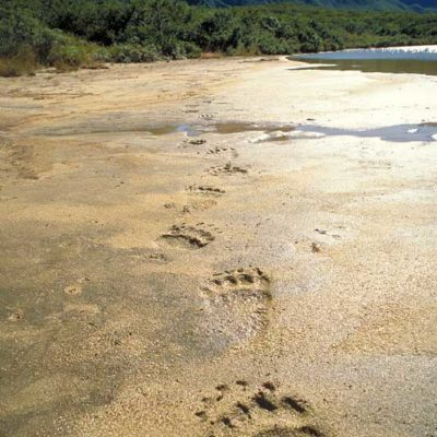 "<h2>Grizzly tracks</h2><p>""Seeing animal tracks is sometimes more powerful than seeing the animals themselves"" Cody Dwire 9/22/2000. ""It is an honor to walk where such magnificent animals have gone before"" Lee Williams 10/3/2000.</p>"