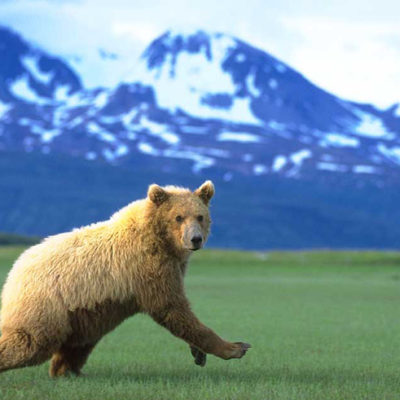 <h2>Retreating</h2> <p>Despite their reputation, grizzly bears are almost always timid and retreating. </p>