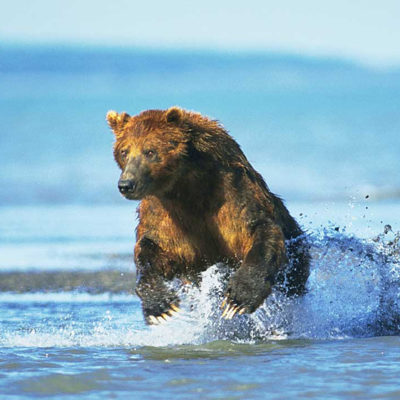 <h2>Beginning a chase</h2> <p>A half-ton coastal grizzly bear leaps from the water at the mouth of a stream to chase a salmon that swirled in the shallows. When hunting salmon, bears look for swirls, repeatedly smell the water, and run toward splashing sounds.</p>