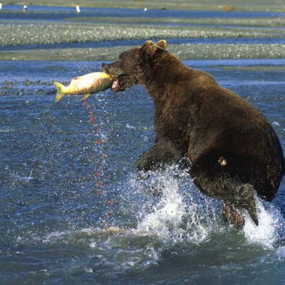<h2>A big catch</h2><p>Coastal grizzlies are larger than interior grizzlies partly because of salmon that spawn in coastal streams. This ripe female chum salmon is streaming a trail of red eggs.</p>