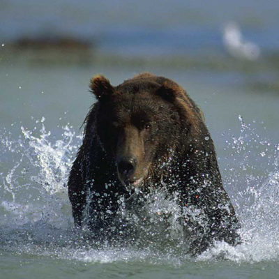 <h2>Chasing a salmon1</h2> <p>With his eyes fixed on a salmon, this running grizzly demonstrates speed and power. </p>