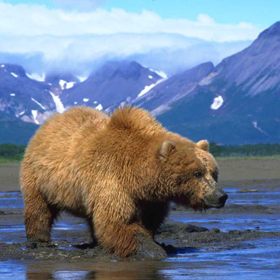 <h2>Working for clams</h2> <p>The grizzly's strong forelegs and large claws help them dig faster than the razor clams and butter clams can retreat–sometimes to depths of over two feet under the mud. </p>