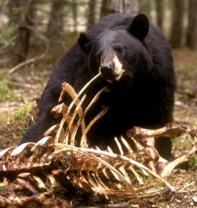 bear at moose carcass