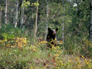 bear_in_aspen_forest.jpg