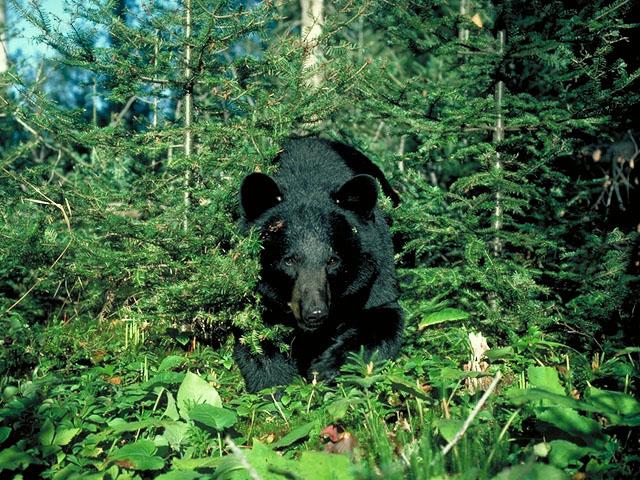 bear_in_woods_approaching.jpg