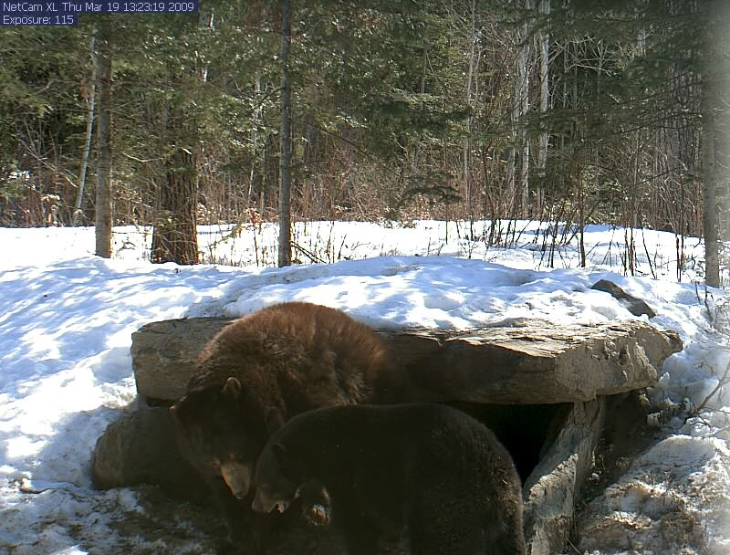 Honey and Lucky playing in front of their den