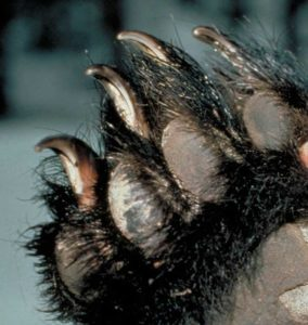 black_bear_claws.jpg
