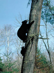 mom_and_cub_climbing_tree.jpg