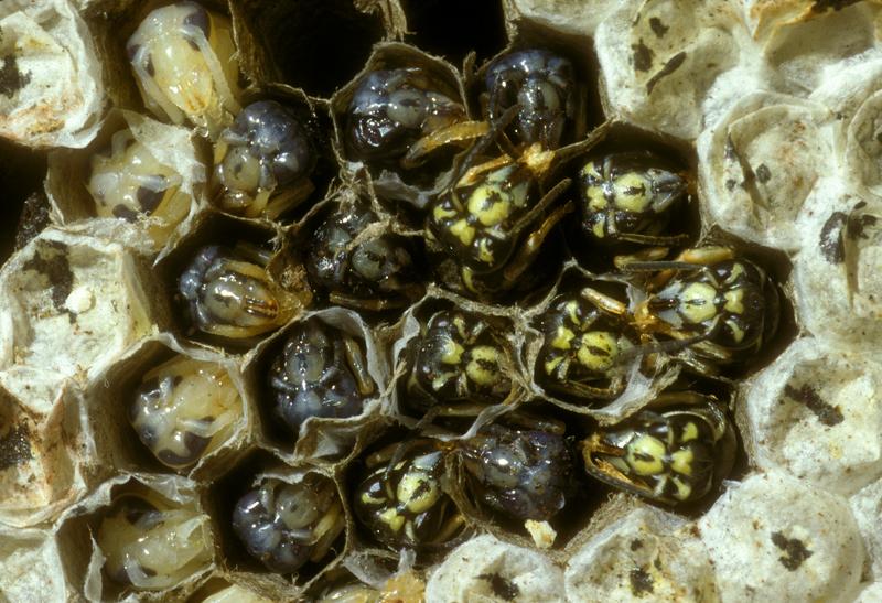 yellowjacket_hornet_larvae.jpg