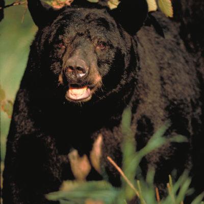 bear_coming.jpg