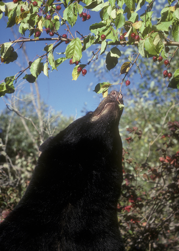 bear_eating_crabapple.jpg