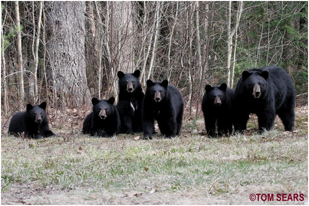 black_bear_w_5_cubs_nh_4-25-08.jpg