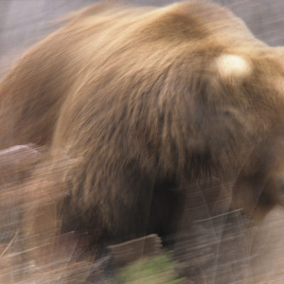 blurry_charging_grizzly.jpg