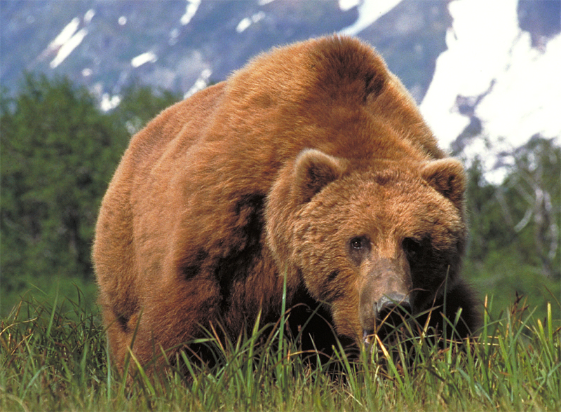large_brown_bear.jpg